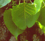 Cottonwood (Eastern Cottonwood)