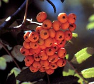 European Mountainash (Rowan Tree)